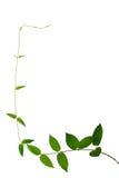 Wild climbing vine isolated on white background Stock Image