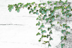 Wild climbing vines on white old wood background Royalty Free Stock Image