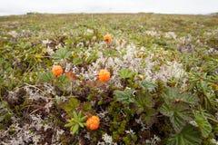 Wild cloudberries Rubus chamaemorus ripe in tundra Stock Images