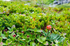 Wild Cloudberry Royalty Free Stock Photo