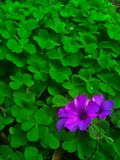 Wild Clover Flower. Beaitiful purple flower blooming from a wild clover royalty free stock images