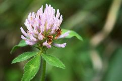 Wild Clover Flowering Royalty Free Stock Photography
