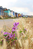 Wild coastal flowers and beach huts. Photo of pretty purple wild coastal flowers growing on the coast of whitstable in kent by beach huts Royalty Free Stock Images