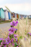 Wild coastal flowers and beach huts. Photo of pretty purple wild coastal flowers growing on the coast of whitstable in kent by beach huts Stock Photography