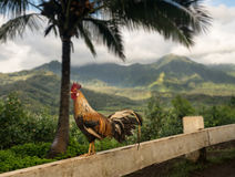 Wild cockerel at Princeville overlook Kauai royalty free stock images