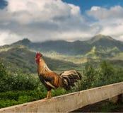 Wild cockerel at Princeville overlook Kauai stock photos