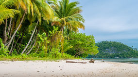 Wild coconat Palms on Friwen Island, Wall in Background, West Papuan, Raja Ampat, Indonesia. Wild coconat Palms on Friwen Island, Wall in Background, West Papuan Royalty Free Stock Image