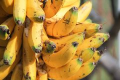 Wild colombian bananas Royalty Free Stock Photos