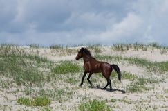 Wild Colonial Spanish Mustangs on the northern Currituck Outer B Royalty Free Stock Photography