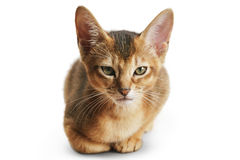 Wild color abyssinian kitten 3 month sitting on white background looking to camera stock image