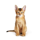 Wild color abyssinian kitten 3 month sitting on white background looking to camera. Isolated Royalty Free Stock Photo