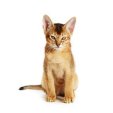 Wild color abyssinian kitten 3 month sitting on white background looking to camera
