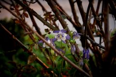 Wild Colorado Blue Columbine in front of a wall royalty free stock photos