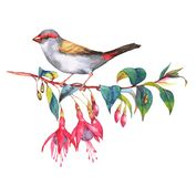 Wild colorful bird drawing. Hand-drawn watercolor illustration of the red-browed finch on the branch of fuchsia flowers. Wild colorful bird drawing. Nature Vector Illustration