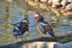 Wild colorful duck Stock Images