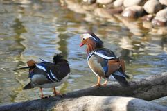 Wild colorful duck Stock Photography