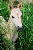 Wild colt. Who live on island of Jelgava, Latvia Royalty Free Stock Images