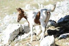 Wild colt Stock Image