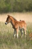Wild Colt. Wild horse Colt standing alone in a meadow Royalty Free Stock Photo