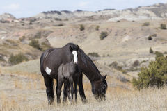Wild Colt and Mare in Roosevelt National Park. Colt and mother in canyon Stock Image