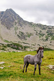 Wild colt in the mountains royalty free stock photo