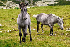 Wild colt in the mountains royalty free stock photography