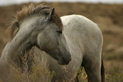 Wild Colt Posing. A wild colt posing with his head turned Royalty Free Stock Images