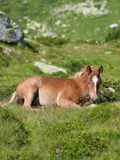 Wild colt resting. On summer time Royalty Free Stock Photos