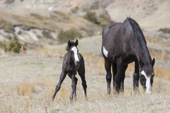 Wild colt staying close to mother for protection. Colt and mother standing in the grass Stock Photos