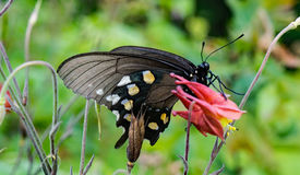 Wild Columbine and Butterfly Stock Image