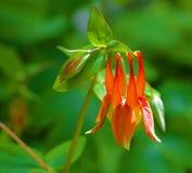 Wild Columbine Flower. Native North American Wild Columbine in full flower; high resolution macro image royalty free stock image