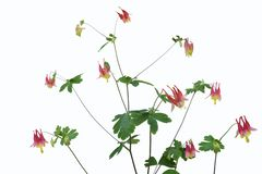 Wild Columbine stock photos