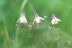 Wild columbines Royalty Free Stock Photography