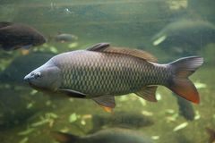 Wild common carp Cyprinus carpio.  stock images