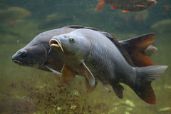 Wild common carp Cyprinus carpio.  royalty free stock images