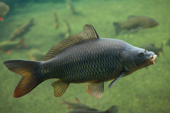 Wild common carp (Cyprinus carpio). Stock Images