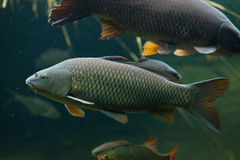 Wild common carp (Cyprinus carpio). Stock Image