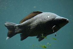 Wild common carp (Cyprinus carpio) Royalty Free Stock Image