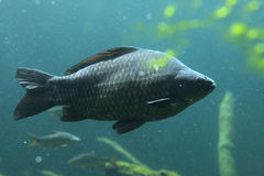 Wild common carp (Cyprinus carpio) Stock Photo
