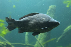 Wild common carp (Cyprinus carpio) Stock Image