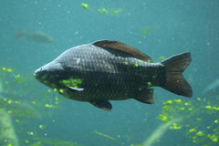 Wild common carp (Cyprinus carpio) Stock Photography