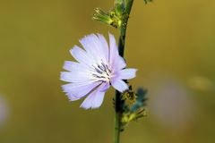 Wild common chicory. Detail of common chicory ( cichorium intybus ) growing in the wild Stock Photography