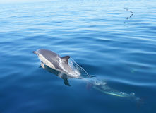 Wild Common Dolphin Stock Photos