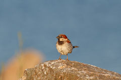 Wild common european sparrow Stock Photos