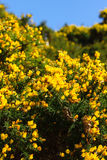 Wild Common Gorse. Common gorse Ulex europaeus also known as Furze or Whin a thorny evergreen shrub with brilliant yellow flowers that bloom in the spring it is royalty free stock photos