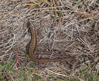 Wild common lizard at holyhead Royalty Free Stock Photography