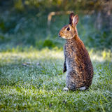 3 Wild common rabbit (Oryctolagus cuniculus) sitting on hind Royalty Free Stock Photo