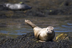 Wild Common Seal Isle of Skye Royalty Free Stock Photos