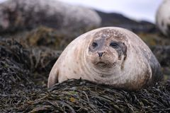 Wild Common Seal Isle of Skye Stock Image
