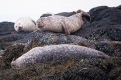 Wild Common Seal Stock Photos